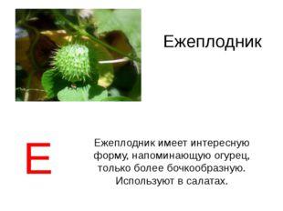 Ежеплодник Ежеплодник имеет интересную форму, напоминающую огурец, только бол