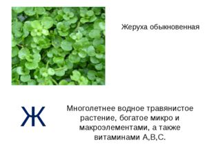 Жеруха обыкновенная Многолетнее водное травянистое растение, богатое микро и