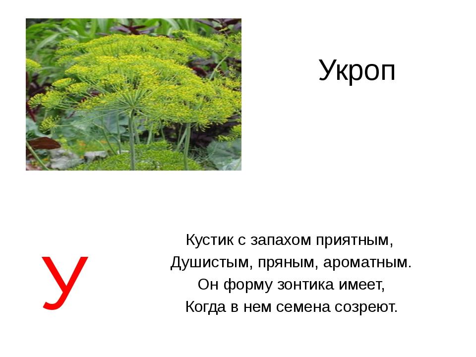 Укроп Кустик с запахом приятным, Душистым, пряным, ароматным. Он форму зонтик...