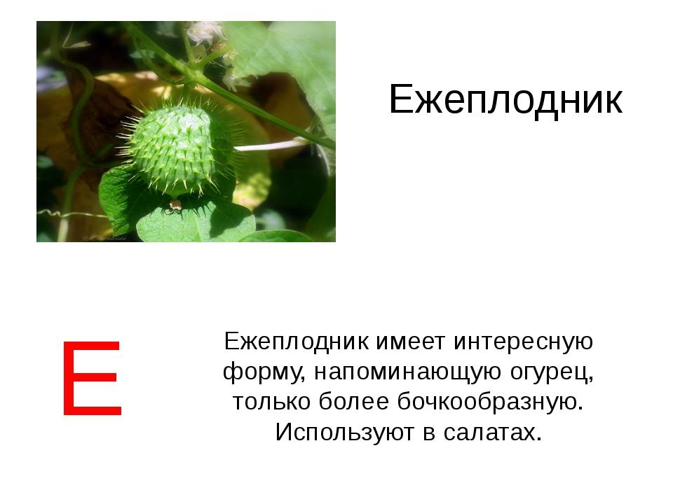 Ежеплодник Ежеплодник имеет интересную форму, напоминающую огурец, только бол...