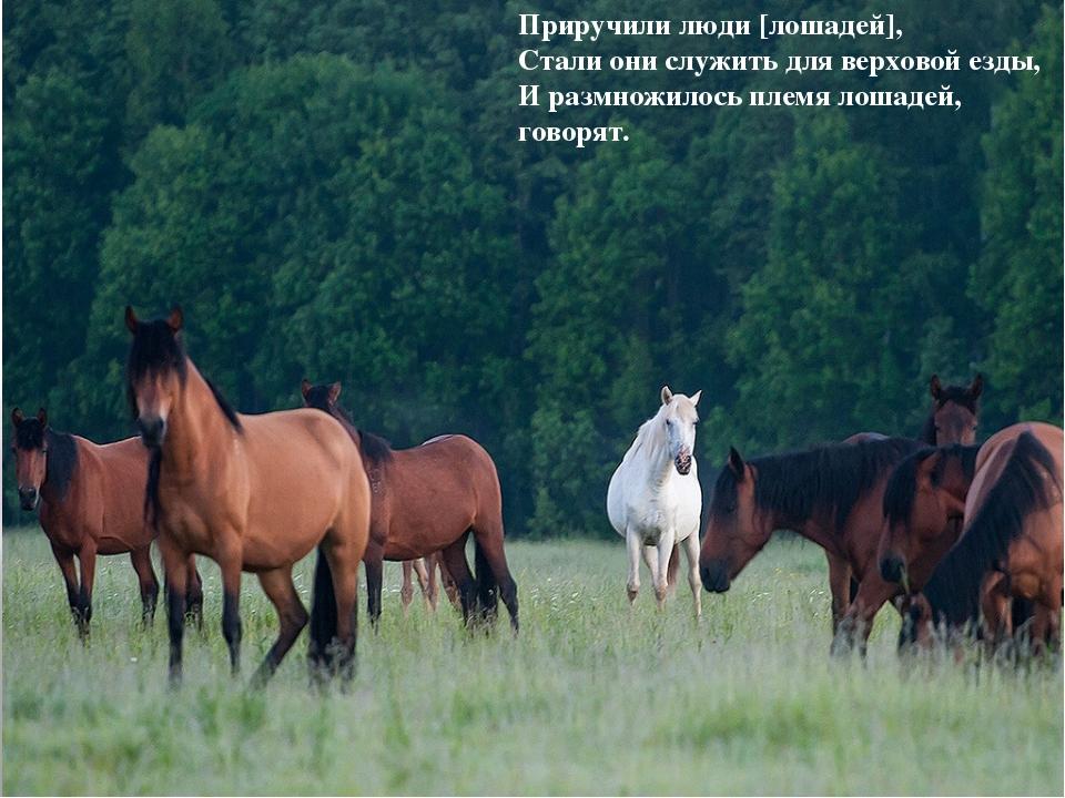 Приручили люди [лошадей], Стали они служить для верховой езды, И размножилось...