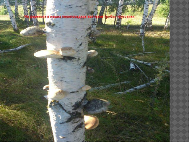 На деревьях в наших лесопосадках вот такие грибы- трутовики.