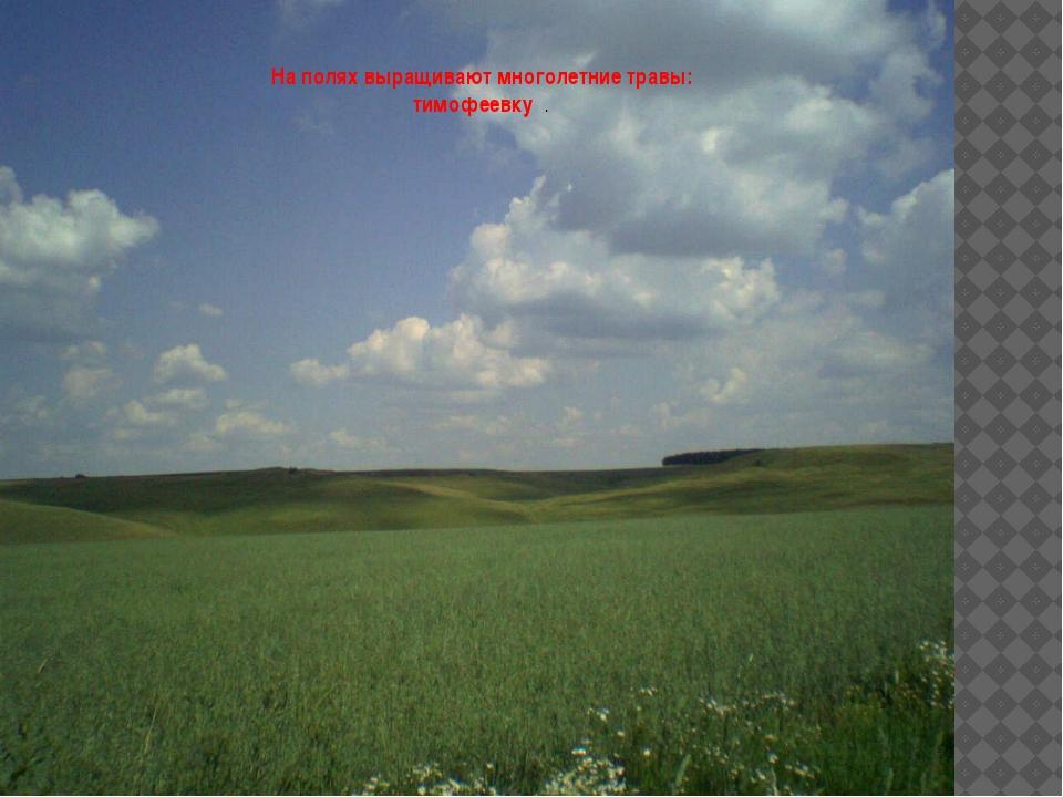 На полях выращивают многолетние травы: тимофеевку .