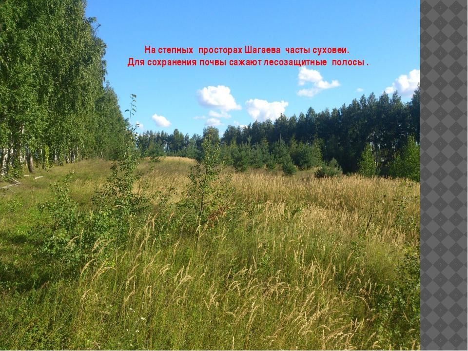 На степных просторах Шагаева часты суховеи. Для сохранения почвы сажают лесоз...