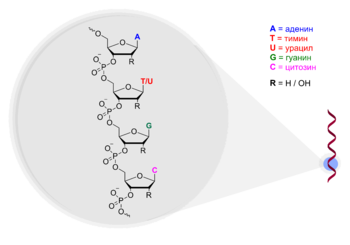 https://upload.wikimedia.org/wikipedia/commons/thumb/2/2f/Oligonucleotide_Structure.png/350px-Oligonucleotide_Structure.png
