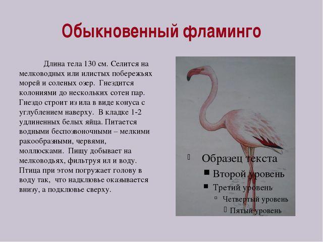 Обыкновенный фламинго Длина тела 130 см. Селится на мелководных или илистых п...