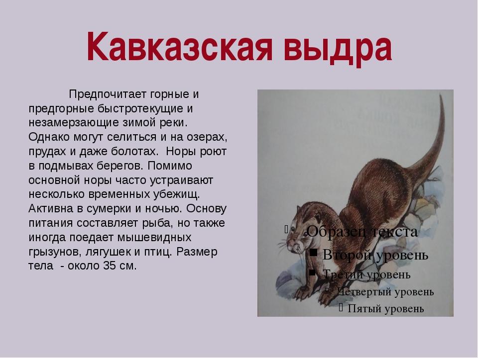 Кавказская выдра Предпочитает горные и предгорные быстротекущие и незамерзающ...