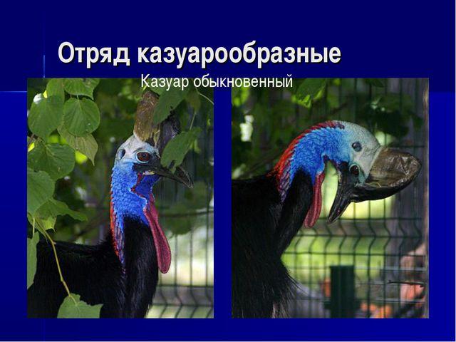 Отряд казуарообразные Казуар обыкновенный