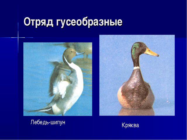 Отряд гусеобразные Лебедь-шипун Кряква