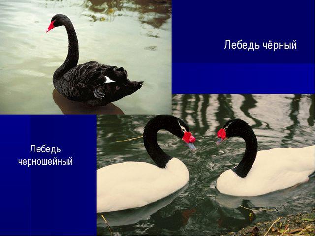 Лебедь чёрный Лебедь черношейный
