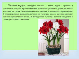 Гиппеаструм. Народное название – лилия. Родина- тропики и субтропики Америк