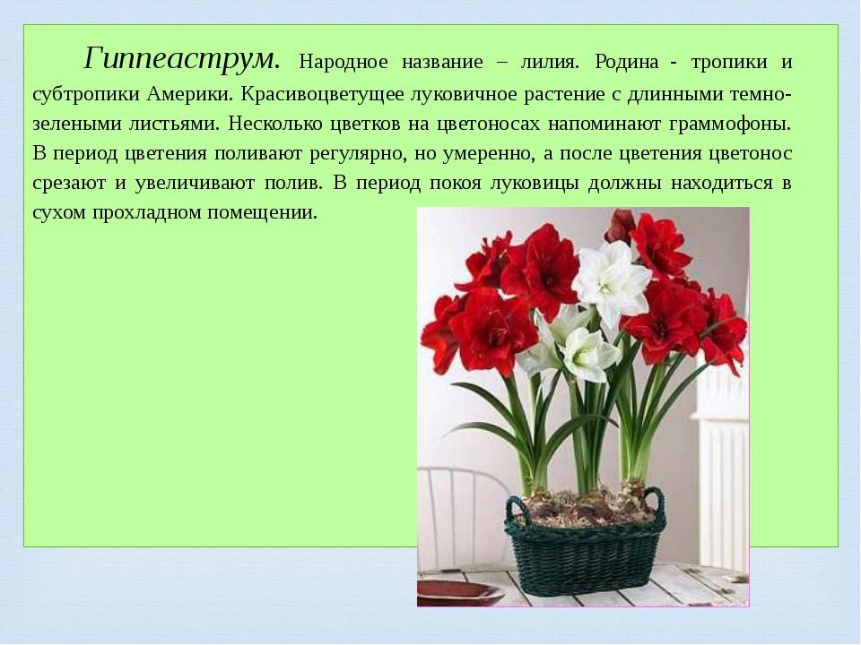 Гиппеаструм. Народное название – лилия. Родина- тропики и субтропики Америк...