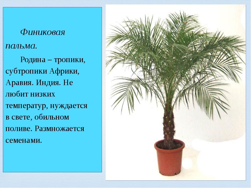 Финиковая пальма. Родина – тропики, субтропики Африки, Аравия. Индия. Не люб...