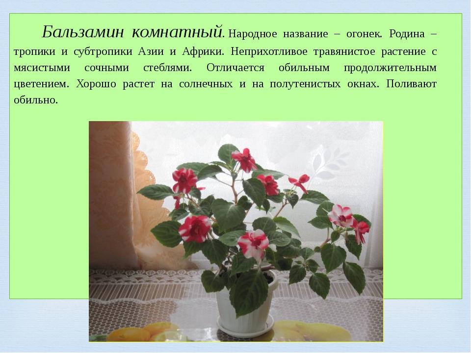 Бальзамин комнатный.Народное название – огонек. Родина – тропики и субтропик...