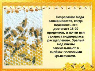 Созревание мёда заканчивается, когда влажность его достигает 18-20 п