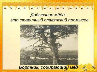Добывание мёда – это старинный славянский промысел. Бортник, собирающий мёд