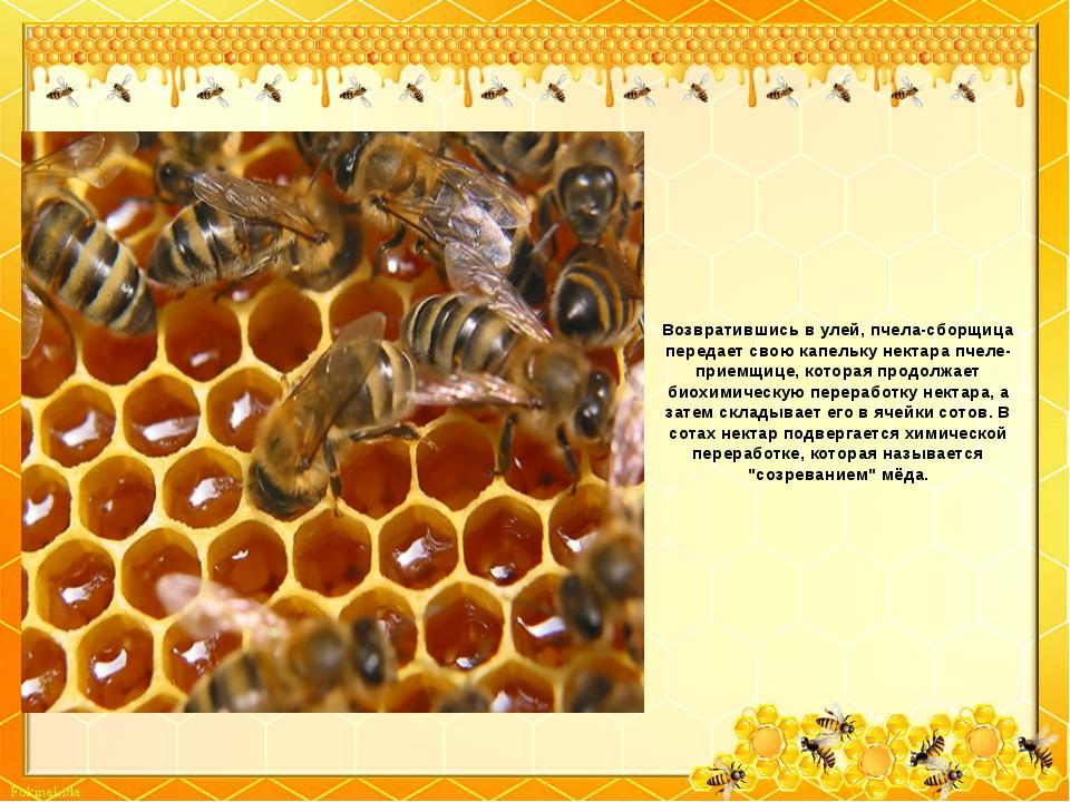 Возвратившись в улей, пчела-сборщица передает свою капельку нектара пчеле-при...