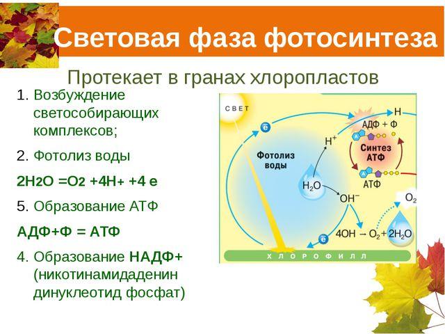 Световая фаза фотосинтеза Протекает в гранах хлоропластов Возбуждение светосо...