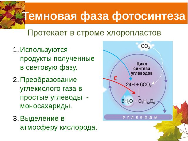 Темновая фаза фотосинтеза Протекает в строме хлоропластов Используются продук...