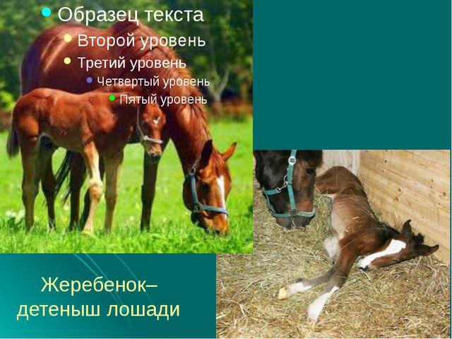 Жеребенок– детеныш лошади