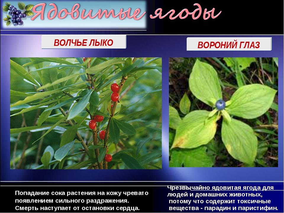 ВОЛЧЬЕ ЛЫКО ВОРОНИЙ ГЛАЗ Чрезвычайно ядовитая ягода для людей и домашних живо...