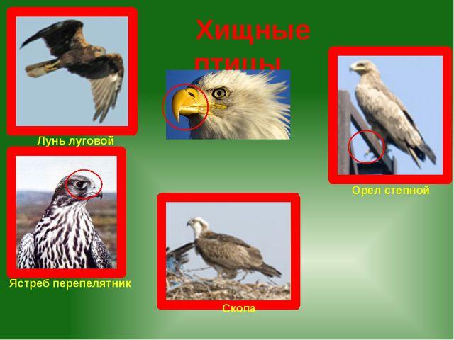 Хищные птицы Лунь луговой Ястреб перепелятник Орел степной Скопа