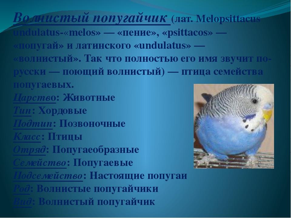 Волнистый попугайчик (лат. Melopsittacus undulatus-«melos»— «пение», «psitt...