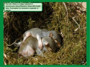 Весной у белки в гнезде появляются крошечные слепые бельчата. Белка заботлива