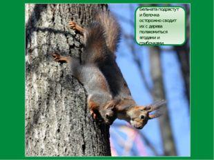 Бельчата подрастут и белочка осторожно сводит их с дерева полакомиться ягодам