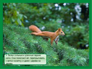 У белки сильные и длинные задние ноги. Они помогают ей перепрыгивать с ветки