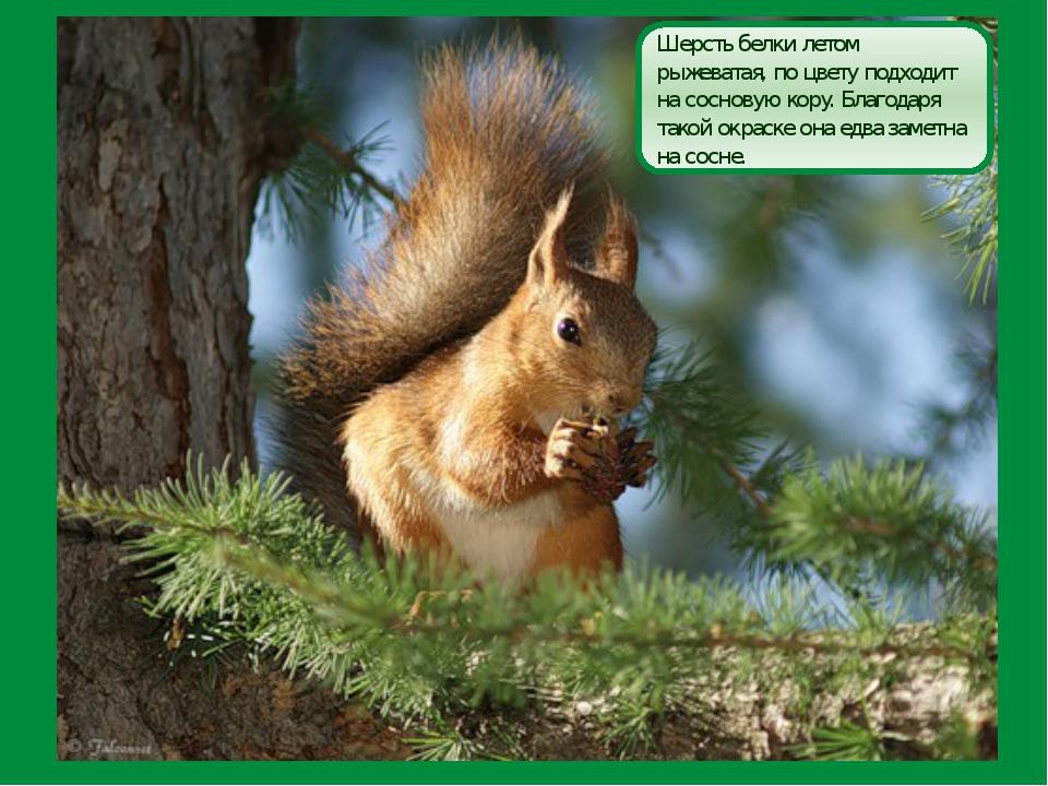 Шерсть белки летом рыжеватая, по цвету подходит на сосновую кору. Благодаря т...