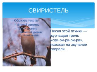 СВИРИСТЕЛЬ Песня этой птички— журчащая трель «сви-ри-ри-ри-ри», похожая на з