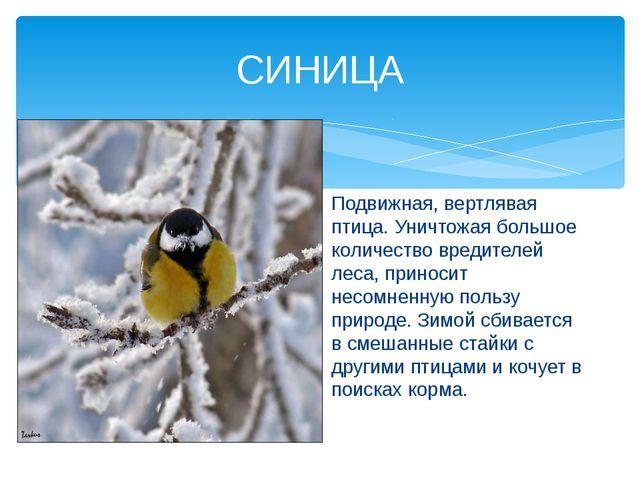 СИНИЦА Подвижная, вертлявая птица. Уничтожая большое количество вредителей ле...
