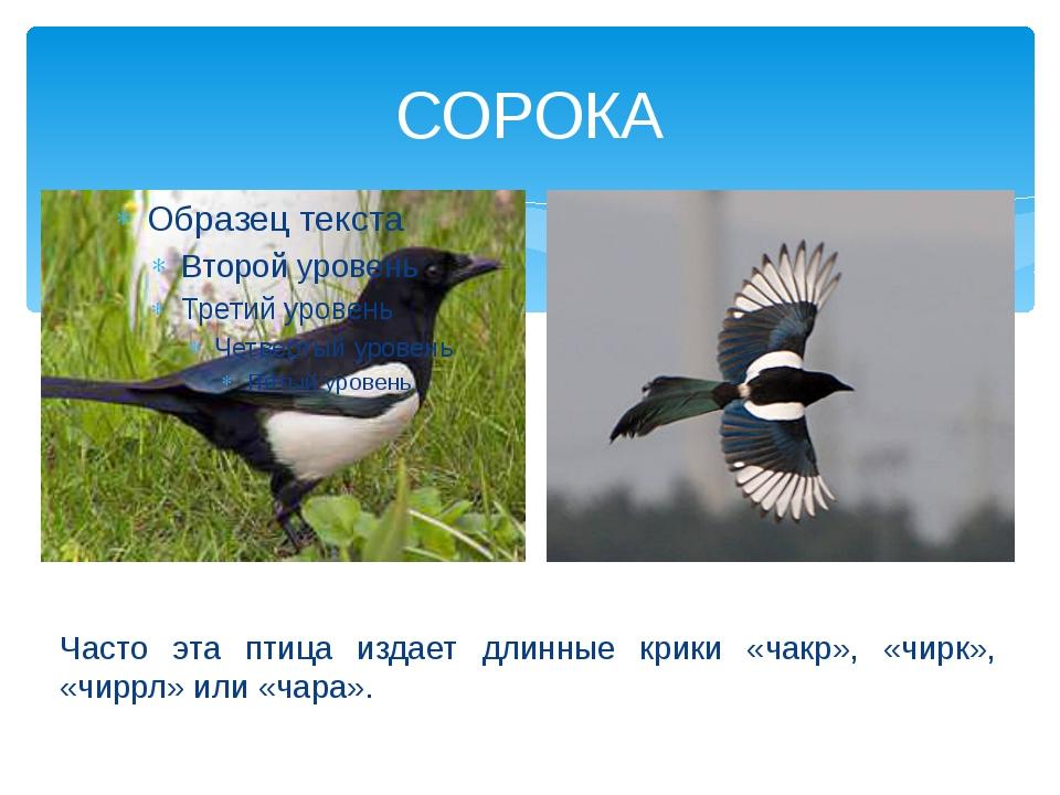 СОРОКА Часто эта птица издает длинные крики «чакр», «чирк», «чиррл» или «чара».