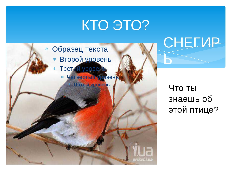 КТО ЭТО? Что ты знаешь об этой птице? СНЕГИРЬ
