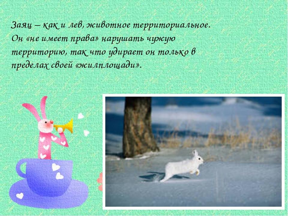 Заяц – как и лев, животное территориальное. Он «не имеет права» нарушать чуж...
