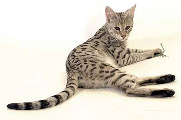Саванный кот