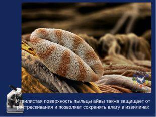 Извилистая поверхность пыльцы айвы также защищает от растрескивания и позволя