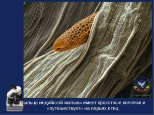 Пыльца индийской мальвы имеет крохотные колючки и «путешествует» на перьях птиц
