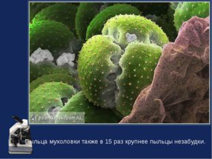 Пыльца мухоловки также в 15 раз крупнее пыльцы незабудки.