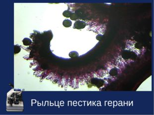 Рыльце пестика герани
