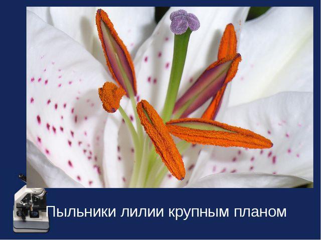 Пыльники лилии крупным планом