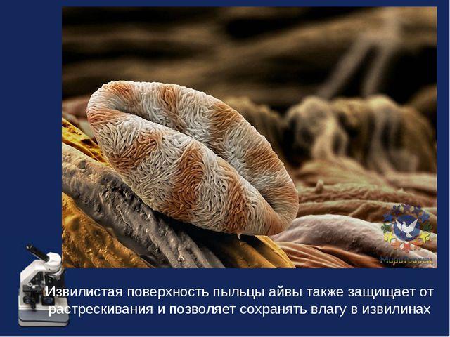 Извилистая поверхность пыльцы айвы также защищает от растрескивания и позволя...