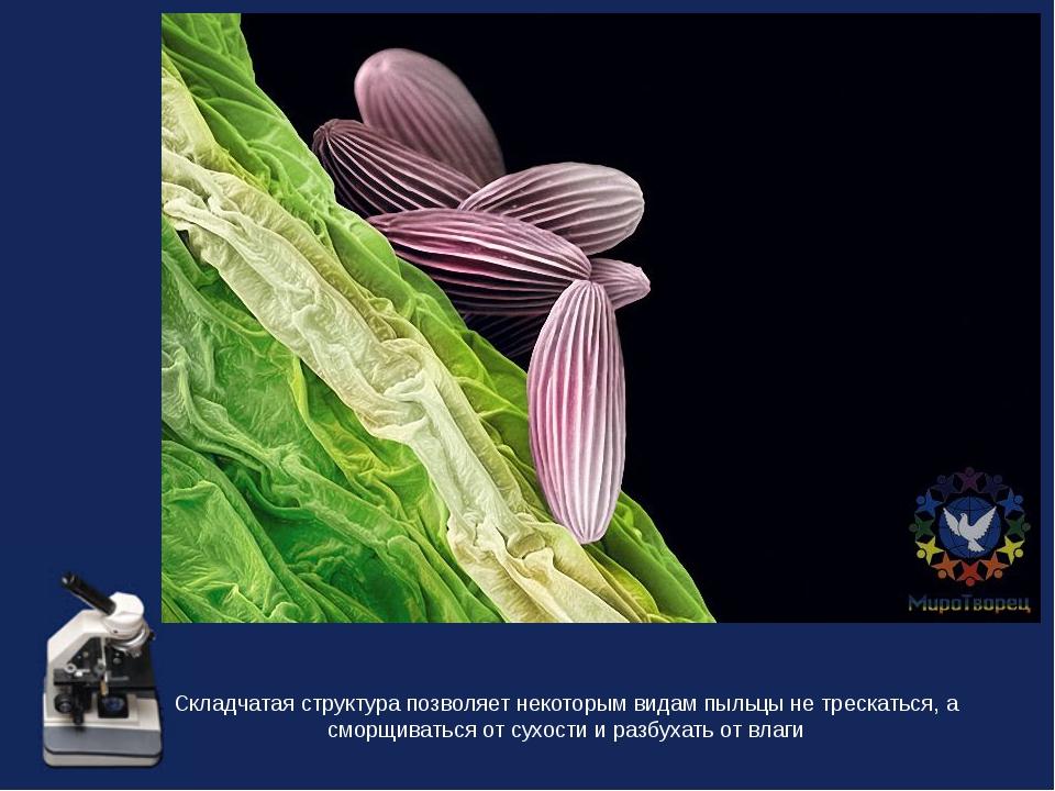 Складчатая структура позволяет некоторым видам пыльцы не трескаться, а сморщи...