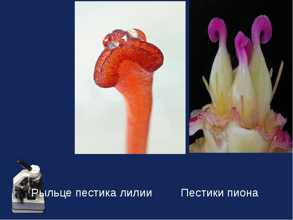 Рыльце пестика лилии  Пестики пиона