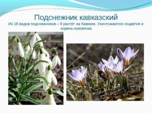 Подснежник кавказский Из 16 видов подснежников – 9 растёт на Кавказе. Уничтож