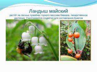 Ландыш майский растёт на лесных лужайках горного массива Кавказа, лекарственн