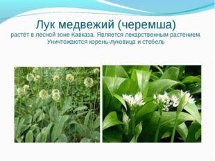 Лук медвежий (черемша) растёт в лесной зоне Кавказа. Является лекарственным р