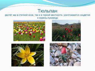 Тюльпан растёт как в степной зоне, так и в горной местности, уничтожаются соц