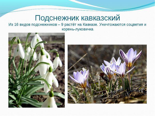 Подснежник кавказский Из 16 видов подснежников – 9 растёт на Кавказе. Уничтож...